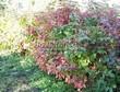 Живая изгородь из лиственных растений Калина обыкновенная (Viburnum opulus) - 112