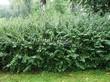 Свободно растущая живая изгородь из лиственных растений Кизильник блестящий (Кизильник остролистный разновидность блестящий) (Cotoneaster lucidus (Cotoneaster acutifolius var. lucidus)) - 102