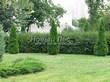 Свободно растущая живая изгородь из лиственных растений Кизильник блестящий (Кизильник остролистный разновидность блестящий) (Cotoneaster lucidus (Cotoneaster acutifolius var. lucidus)) - 103