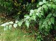 Свободно растущая живая изгородь из лиственных растений Кизильник блестящий (Кизильник остролистный разновидность блестящий) (Cotoneaster lucidus (Cotoneaster acutifolius var. lucidus)) - 105