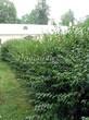 Свободно растущая живая изгородь из лиственных растений Кизильник блестящий (Кизильник остролистный разновидность блестящий) (Cotoneaster lucidus (Cotoneaster acutifolius var. lucidus)) - 106