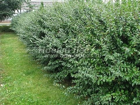 Живые изгороди: изгородь из свободнорастущих кустарников Кизильника блестящего (выстота 2 метра, Москва)