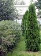 Свободно растущая живая изгородь из лиственных растений Кизильник блестящий (Кизильник остролистный разновидность блестящий) (Cotoneaster lucidus (Cotoneaster acutifolius var. lucidus)) - 109