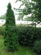 Свободно растущая живая изгородь из лиственных растений Кизильник блестящий (Кизильник остролистный разновидность блестящий) (Cotoneaster lucidus (Cotoneaster acutifolius var. lucidus)) - 110