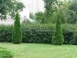 Свободно растущая живая изгородь из лиственных растений Кизильник блестящий (Кизильник остролистный разновидность блестящий) (Cotoneaster lucidus (Cotoneaster acutifolius var. lucidus)) - 111