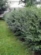 Свободно растущая живая изгородь из лиственных растений Кизильник блестящий (Кизильник остролистный разновидность блестящий) (Cotoneaster lucidus (Cotoneaster acutifolius var. lucidus)) - 112