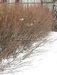 Свободно растущая живая изгородь из лиственных растений Кизильник блестящий (Кизильник остролистный разновидность блестящий) (Cotoneaster lucidus (Cotoneaster acutifolius var. lucidus)) - 113