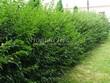 Свободно растущая живая изгородь из лиственных растений Кизильник блестящий (Кизильник остролистный разновидность блестящий) (Cotoneaster lucidus (Cotoneaster acutifolius var. lucidus)) - 114