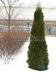 Свободно растущая живая изгородь из лиственных растений Кизильник блестящий (Кизильник остролистный разновидность блестящий) (Cotoneaster lucidus (Cotoneaster acutifolius var. lucidus)) - 115