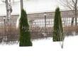 Свободно растущая живая изгородь из лиственных растений Кизильник блестящий (Кизильник остролистный разновидность блестящий) (Cotoneaster lucidus (Cotoneaster acutifolius var. lucidus)) - 116