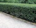 Стриженая живая изгородь из лиственных растений Кизильник блестящий (Кизильник остролистный разновидность блестящий) (Cotoneaster lucidus (Cotoneaster acutifolius var. lucidus))