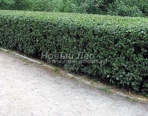 Живая изгородь из лиственных растений Кизильник блестящий (Cotoneaster lucidus)