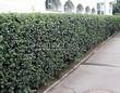 Стриженая живая изгородь из лиственных растений Кизильник блестящий (Кизильник остролистный разновидность блестящий) (Cotoneaster lucidus (Cotoneaster acutifolius var. lucidus)) - 301