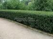 Стриженая живая изгородь из лиственных растений Кизильник блестящий (Кизильник остролистный разновидность блестящий) (Cotoneaster lucidus (Cotoneaster acutifolius var. lucidus)) - 302
