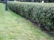 Стриженая живая изгородь из лиственных растений Кизильник блестящий (Кизильник остролистный разновидность блестящий) (Cotoneaster lucidus (Cotoneaster acutifolius var. lucidus)) - 303