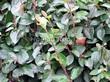 Стриженая живая изгородь из лиственных растений Кизильник блестящий (Кизильник остролистный разновидность блестящий) (Cotoneaster lucidus (Cotoneaster acutifolius var. lucidus)) - 304