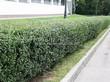 Стриженая живая изгородь из лиственных растений Кизильник блестящий (Кизильник остролистный разновидность блестящий) (Cotoneaster lucidus (Cotoneaster acutifolius var. lucidus)) - 305