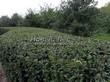 Стриженая живая изгородь из лиственных растений Кизильник блестящий (Кизильник остролистный разновидность блестящий) (Cotoneaster lucidus (Cotoneaster acutifolius var. lucidus)) - 307