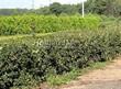 Стриженая живая изгородь из лиственных растений Кизильник блестящий (Кизильник остролистный разновидность блестящий) (Cotoneaster lucidus (Cotoneaster acutifolius var. lucidus)) - 308
