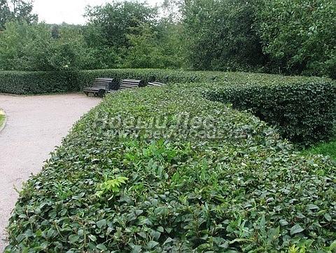 Живые изгороди: сформированная стриженая изгородь высотой около 1 метра в городском парке (растение - Кизильник блестящий)