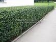 Стриженая живая изгородь из лиственных растений Кизильник блестящий (Кизильник остролистный разновидность блестящий) (Cotoneaster lucidus (Cotoneaster acutifolius var. lucidus)) - 310