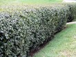 Стриженая живая изгородь из лиственных растений Кизильник блестящий (Кизильник остролистный разновидность блестящий) (Cotoneaster lucidus (Cotoneaster acutifolius var. lucidus)) - 314