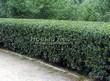 Стриженая живая изгородь из лиственных растений Кизильник блестящий (Кизильник остролистный разновидность блестящий) (Cotoneaster lucidus (Cotoneaster acutifolius var. lucidus)) - 315