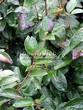 Стриженая живая изгородь из лиственных растений Кизильник блестящий (Кизильник остролистный разновидность блестящий) (Cotoneaster lucidus (Cotoneaster acutifolius var. lucidus)) - 316