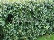 Стриженая живая изгородь из лиственных растений Кизильник блестящий (Кизильник остролистный разновидность блестящий) (Cotoneaster lucidus (Cotoneaster acutifolius var. lucidus)) - 317