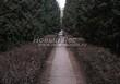 Стриженая живая изгородь из лиственных растений Кизильник блестящий (Кизильник остролистный разновидность блестящий) (Cotoneaster lucidus (Cotoneaster acutifolius var. lucidus)) - 318