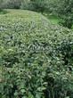 Стриженая живая изгородь из лиственных растений Кизильник блестящий (Кизильник остролистный разновидность блестящий) (Cotoneaster lucidus (Cotoneaster acutifolius var. lucidus)) - 320
