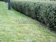 Стриженая живая изгородь из лиственных растений Кизильник блестящий (Кизильник остролистный разновидность блестящий) (Cotoneaster lucidus (Cotoneaster acutifolius var. lucidus)) - 321