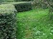 Стриженая живая изгородь из лиственных растений Кизильник блестящий (Кизильник остролистный разновидность блестящий) (Cotoneaster lucidus (Cotoneaster acutifolius var. lucidus)) - 322
