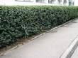 Стриженая живая изгородь из лиственных растений Кизильник блестящий (Кизильник остролистный разновидность блестящий) (Cotoneaster lucidus (Cotoneaster acutifolius var. lucidus)) - 324