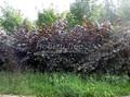 Живая изгородь из лиственных растений Лещина обыкновенная (Орешник обыкновенный) Пурпуреа (Corylus avellana 'Purpurea')