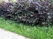 Живая изгородь из лиственных растений Лещина обыкновенная (Орешник обыкновенный) Пурпуреа (Corylus avellana 'Purpurea') - 101