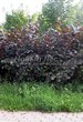 Живая изгородь из лиственных растений Лещина обыкновенная (Орешник обыкновенный) Пурпуреа (Corylus avellana 'Purpurea') - 102