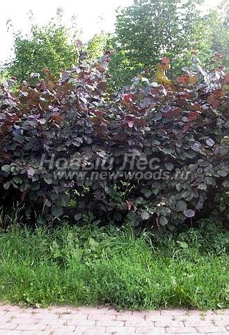 Живые изгороди: выстота кустарника Лещина обыкновенная Пурпуреа в изгороди примерно 2-2,5 метра (Москва, городской парк)
