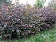 Живая изгородь из лиственных растений Лещина обыкновенная (Орешник обыкновенный) Пурпуреа (Corylus avellana 'Purpurea') - 103