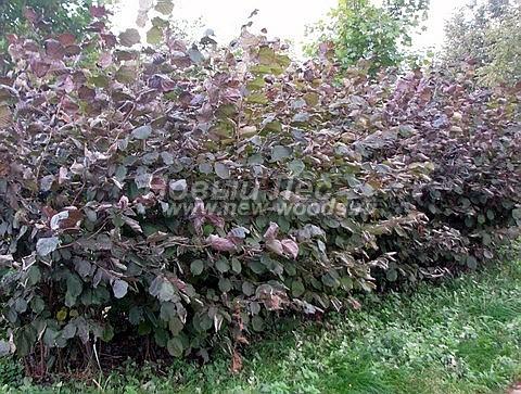 Живые изгороди: молодые свободно растущие растения Лещины обыкновенной Пурпуреа достаточно быстро и хорошо формируют изгородь (высота около 2 метров, Московская область)