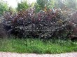 Живая изгородь из лиственных растений Лещина обыкновенная (Орешник обыкновенный) Пурпуреа (Corylus avellana 'Purpurea') - 104