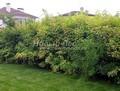 Живая изгородь из лиственных растений Пузыреплодник калинолистный (Physocarpus opulifolius)