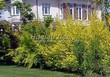 Живая изгородь из лиственных растений Пузыреплодник калинолистный (Physocarpus opulifolius) - 101