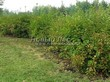 Живая изгородь из лиственных растений Пузыреплодник калинолистный (Physocarpus opulifolius) - 103