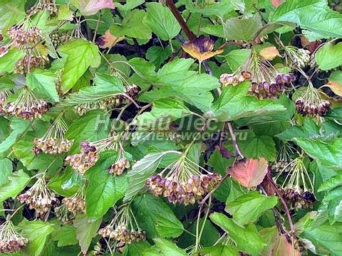 Живые изгороди: осенняя листва и плоды Пузыреплодника калинолистного