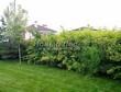 Живая изгородь из лиственных растений Пузыреплодник калинолистный (Physocarpus opulifolius) - 105