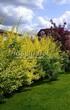 Живая изгородь из лиственных растений Пузыреплодник калинолистный (Physocarpus opulifolius) - 106