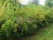 Живая изгородь из лиственных растений Пузыреплодник калинолистный (Physocarpus opulifolius) - 108