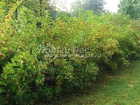Живые изгороди: позднее лето. Пузыреплодник калинолистный в Тульской области (высота изгороди 1,5-2 метра)