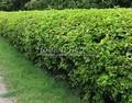 Стриженая живая изгородь из лиственных растений Пузыреплодник калинолистный Дартс Голд (Дарт Голд) (Physocarpus opulifolius 'Dart's Gold')